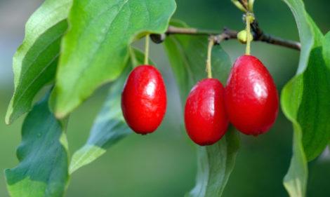 Corniolo frutto: ricette, proprietà e dove cresce