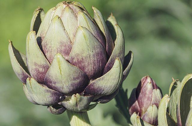 Brattea, la foglia che si mangia nel carciofo: caratteristiche e proprietà