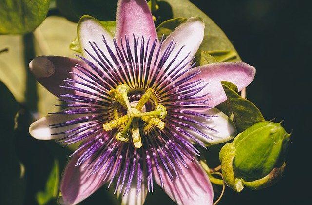 Fiore della passione: cos'è, coltivazione e dove trovarlo