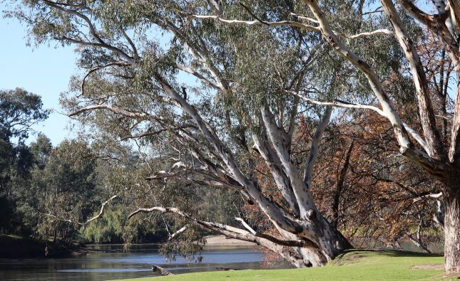 Eucalipto pianta: cos'è, metodi di coltivazione e consigli