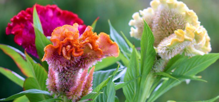 Cresta di gallo: cos'è, caratteristiche e coltivazione